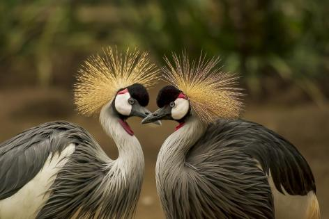 grey-crowned-crane-540657_1920-000